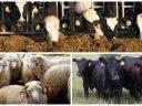 APIA a început efectuarea plăților aferente ajutorului de stat în sectorul creşterii animalelor