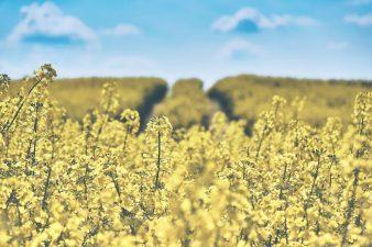 """Culturile agricole """"vedeta"""" in Romania"""