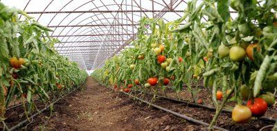 Producatorii de tomate vor avea mai mult timp la dispozitie pentru valorificarea produselor