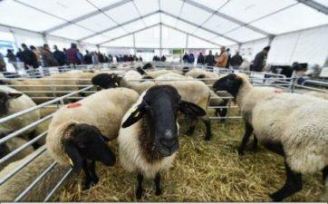Dumitru (ProAgro): Consumul de carne de oaie ar putea creste daca ar exista un program pe o perioada lunga de timp si sustinere financiara