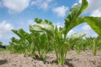 Ministerul Agriculturii si Dezvoltarii Rurale a demarat procedura de recunoastere a fabricilor de zahar