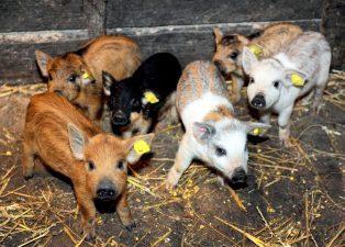 Startul Programului de sprijin pentru crescatorii de porci din rasele Bazna si Mangalita