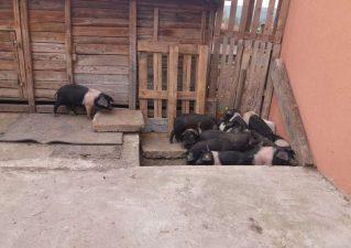 Oficial MADR: Aproape 100 de purcei Bazna si Mangalita, distribuiti prin programul guvernamental