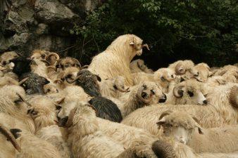 MADR: Primele rezultate ale unei colaborari de durata privind exportul de ovine in Golf