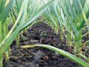 A fost aprobat Programul de susținere a producției de usturoi