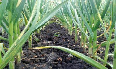 Sprijinul financiar pentru producţia de usturoi ar putea creşte la 3.000 euro/hectar